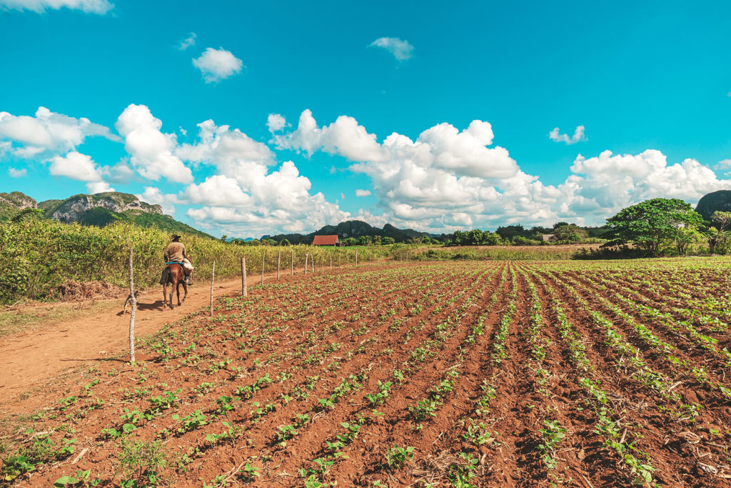 Save Download Preview Tobacco sprouts grow in a row on a plantation in the Vinales valley, Cuba. Beautiful rural landscape.